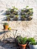 File delle piante di fragola in un giardino verticale che appende su una parete Fotografia Stock