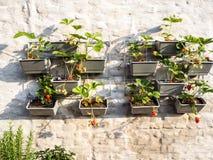 File delle piante di fragola in un giardino verticale che appende su una parete Immagine Stock