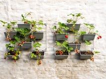 File delle piante di fragola in un giardino verticale che appende su una parete Immagini Stock