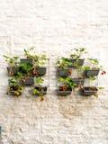 File delle piante di fragola in un giardino verticale che appende su una parete Fotografie Stock Libere da Diritti