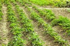 File delle piante di fragola verdi Fotografia Stock Libera da Diritti