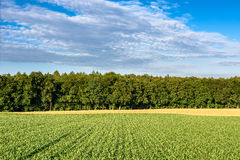 File delle piante di mais crescenti che conducono al legno Fotografie Stock Libere da Diritti