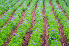 File delle piante di patate Fotografie Stock