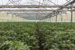 File delle piante di pomodori che coltivano grande serra industriale interna Fotografie Stock