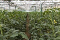 File delle piante di pomodori che crescono dentro in una serra industriale Immagine Stock Libera da Diritti