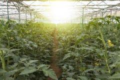 File delle piante di pomodori che crescono dentro in una serra industriale Immagine Stock