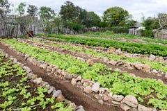 File delle piante fresche della lattuga nella campagna di Giron Fotografie Stock