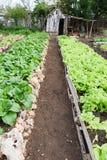 File delle piante fresche della lattuga nella campagna di Giron Immagine Stock