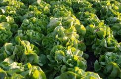 File delle piante fresche della lattuga su un campo fertile, pronte ad essere raccolto Fotografie Stock Libere da Diritti