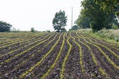 File delle piantine del cereale in un campo Fotografia Stock Libera da Diritti