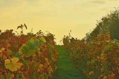 File delle vigne di autunno Colori gialli di autunno durante l'ora dorata fotografie stock libere da diritti