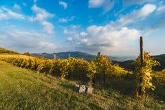 File delle viti nella campagna italiana a tempo di raccolto di incitare Fotografia Stock