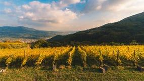 File delle viti nella campagna italiana a tempo di raccolto di incitare Immagini Stock