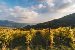 File delle viti nella campagna italiana a tempo di raccolto di incitare Fotografie Stock