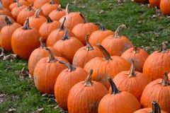 File delle zucche arancio in un campo Immagine Stock