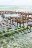 File di alga su un'azienda agricola dell'alga Fotografia Stock