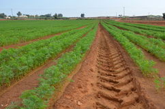 File di aneto in un'azienda agricola agricola Fotografie Stock