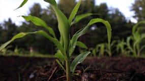 File di cereale che crescono nel giardino fotografie stock libere da diritti