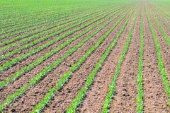 File di giovane soia verde Piantagione agricola della soia Immagini Stock Libere da Diritti