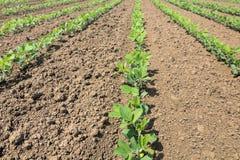 File di giovane soia verde Piantagione agricola della soia Fotografie Stock