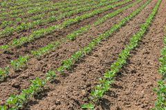 File di giovane soia verde Piantagione agricola della soia Fotografie Stock Libere da Diritti