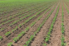 File di giovane soia verde Piantagione agricola della soia Fotografia Stock Libera da Diritti