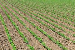 File di giovane soia verde Piantagione agricola della soia Fotografia Stock