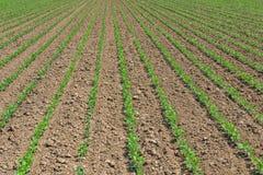 File di giovane soia verde Piantagione agricola della soia Immagine Stock Libera da Diritti
