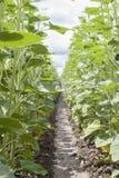 File di giovani piante del girasole circa da aprirsi Immagine Stock