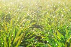 File di giovani piante del grano su un campo umido in una mattina soleggiata Foto del primo piano immagine stock