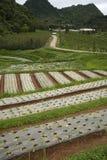 File di giovani piante di verdure Immagine Stock Libera da Diritti