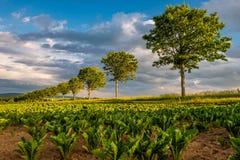 File di giovani piante verdi su un campo fertile con suolo scuro in sole caldo sotto il cielo drammatico Immagine Stock Libera da Diritti