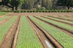 File di giovani verdure ad un orto Immagine Stock Libera da Diritti