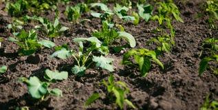 File di lattuga verde che crescono sul suolo fertile al giardino Fotografie Stock Libere da Diritti