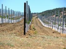 File di piccole giovani piante dell'uva Fotografia Stock Libera da Diritti