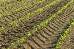 File di piccole piante di cereale dall'agricoltura biologica in Italia Immagini Stock