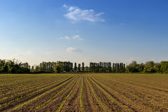 File di piccole piante di cereale dall'agricoltura biologica in Italia con blu Fotografia Stock