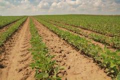 File di soia. Fotografia Stock Libera da Diritti