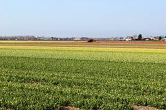 File diagonali dei tulipani variopinti in rosso ed in rosa in un paesaggio con un giacimento di fiore nei precedenti vicino ad Am Immagini Stock