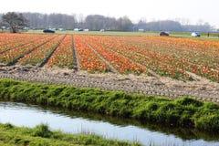 File diagonali dei tulipani variopinti in rosso ed in rosa in un paesaggio con un giacimento di fiore nei precedenti vicino ad Am Immagine Stock Libera da Diritti