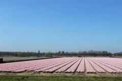 File diagonali dei tulipani variopinti in rosso ed in rosa in un paesaggio con un giacimento di fiore nei precedenti vicino ad Am Immagine Stock