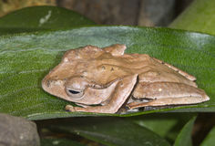 File-eared tree frog or bony-headed flying frog (Polypedates otilophus) hiding on a leaf. Royalty Free Stock Photography