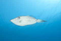File fish in blue water Royalty Free Stock Photography