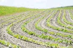 File fresche di Bean Crops Outside In Midwest, Stati Uniti Fotografia Stock Libera da Diritti