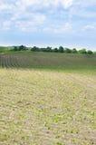 File fresche di Bean Crops Outside In Midwest, Stati Uniti Immagine Stock