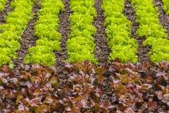 File fresche di lattuga verde e rossa su un campo dell'azienda agricola Fotografia Stock Libera da Diritti