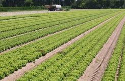 File lunghe di lattuga verde nel campo coltivato di estate Fotografie Stock
