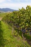File nere dell'uva Fotografie Stock
