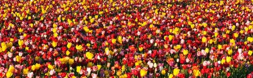 File ordinate dell'azienda agricola variopinta della lampadina dell'agricoltore dei fiori dei tulipani Immagine Stock