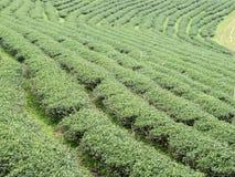 File organiche del tè sulla collina Fotografia Stock Libera da Diritti